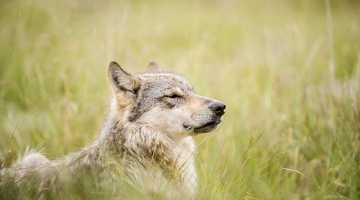 july-wolves-40
