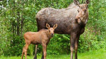 Cow_Calf_Moose