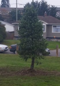 The celebratory pine tree planted in Duchess Park.