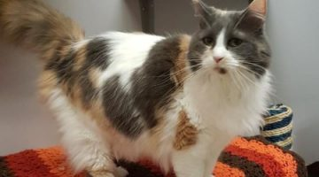 Autumn is one of many adult cats awaiting a home at the North Cariboo SPCA