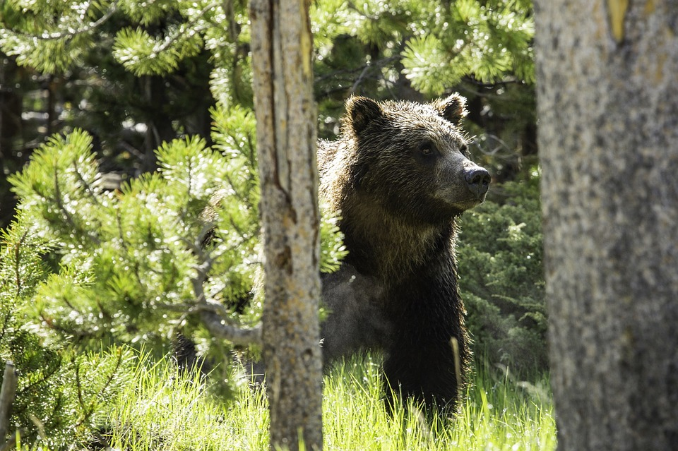 BC banning grizzly bear hunt